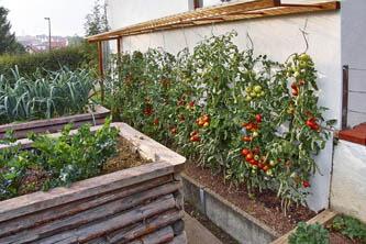 tomaten pflanzen anleitung anleitung tomaten pflanzen vorziehen auf der fensterbank tomaten. Black Bedroom Furniture Sets. Home Design Ideas