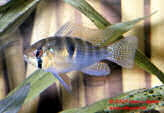 Papiliochromis_Ramizezi_Th
